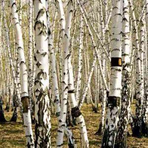 پوستر 3 یعدی طرح جنگل سفید
